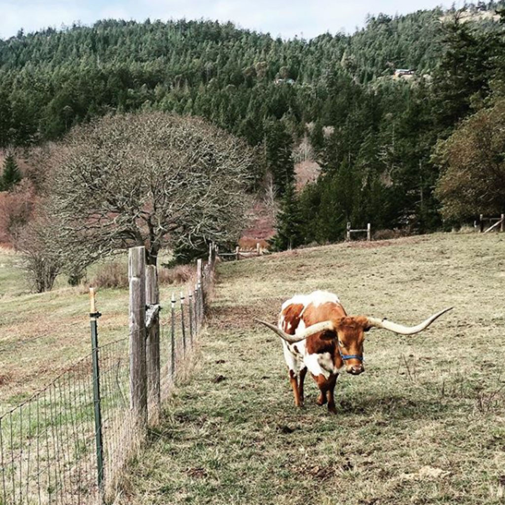 chris pratt welcomes good lookin lady cow to his farm e news