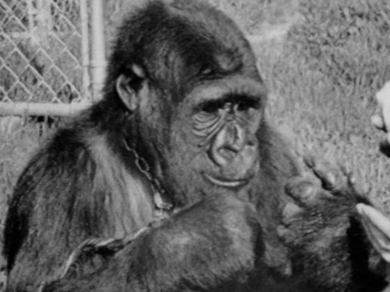 Le gorille Koko meurt à 46 ans