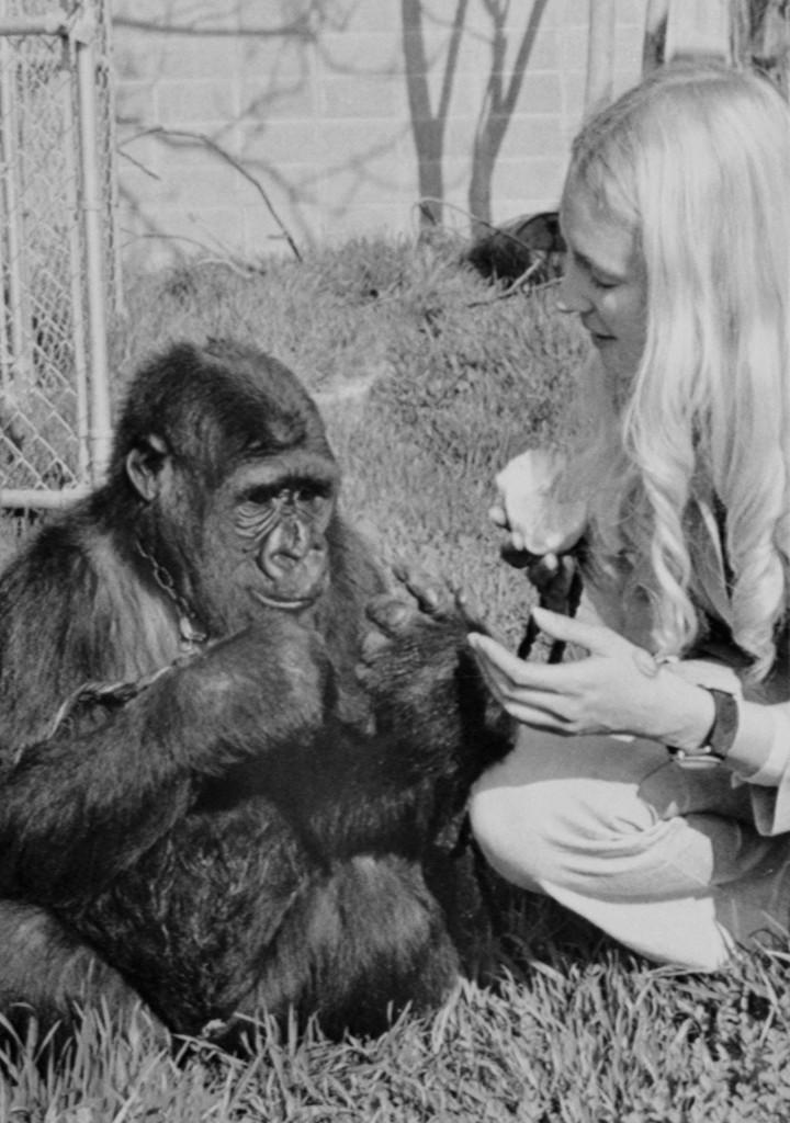 Koko The Gorilla, Koko