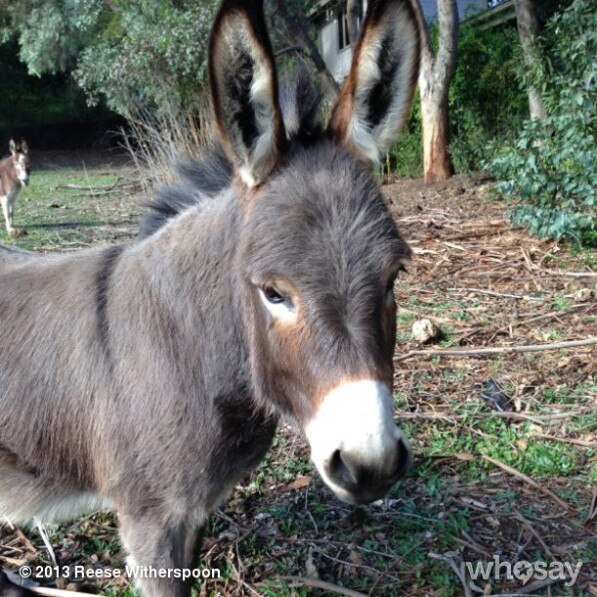 Reese Witherspoon Donkey