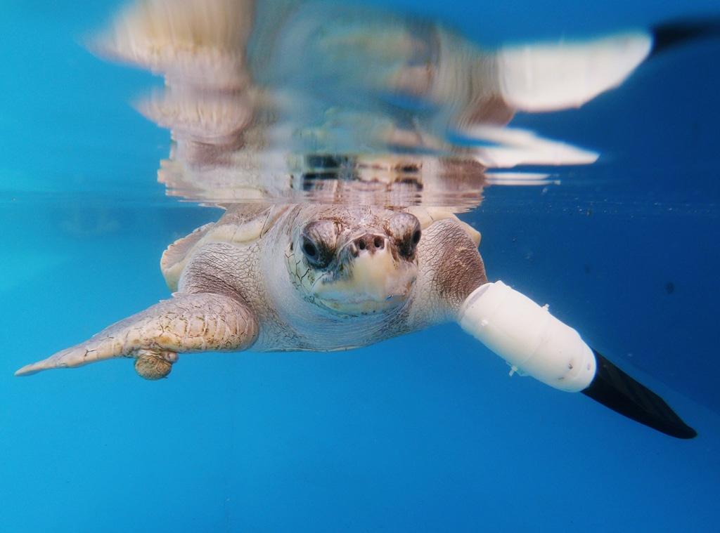 Turtle prosthetic flipper