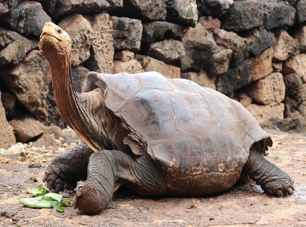 Diego, Galapagos Tortoise