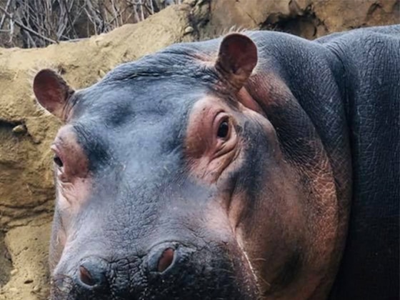 Fiona the Hippo's 3rd Birthday Celebration Is the Only Video You Need to See Today