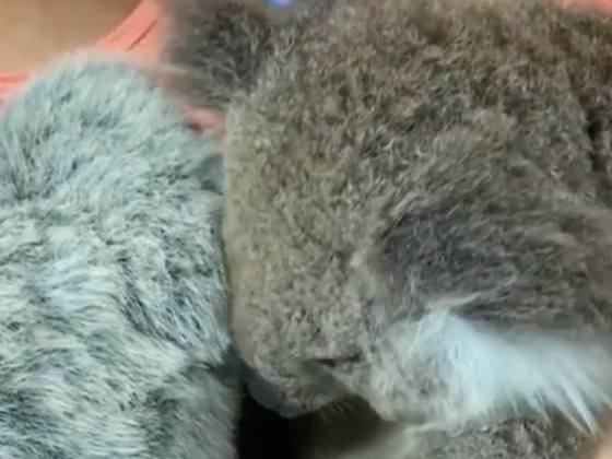 This Video of an Orphaned Koala Snuggling Up to a Stuffed Animal Will Melt Your Heart