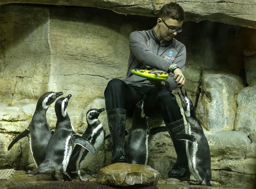 Penguins, Chicago Shedd Aquarium