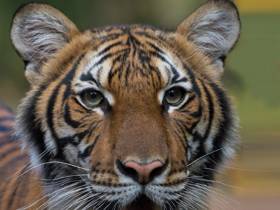 Tiger Tests Positive for Coronavirus at Bronx Zoo But Is Expected to Recover