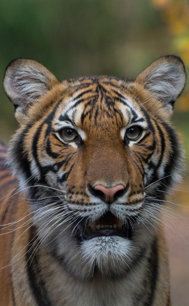 Malayan Tiger, Bronx Zoo 2020