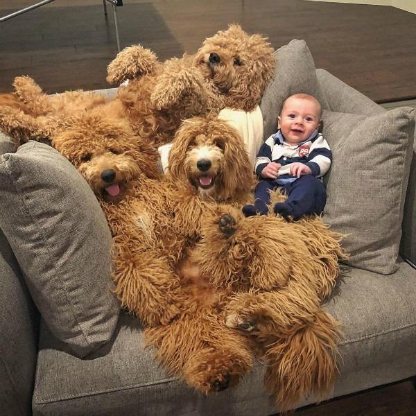Samson The Goldendoodle, cachorros do Instagram